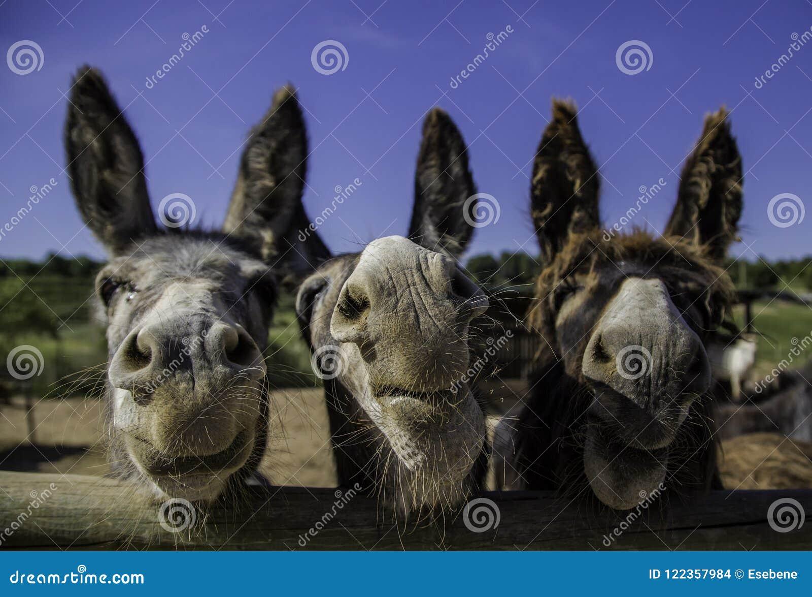 Uśmiechnięci rolni osły