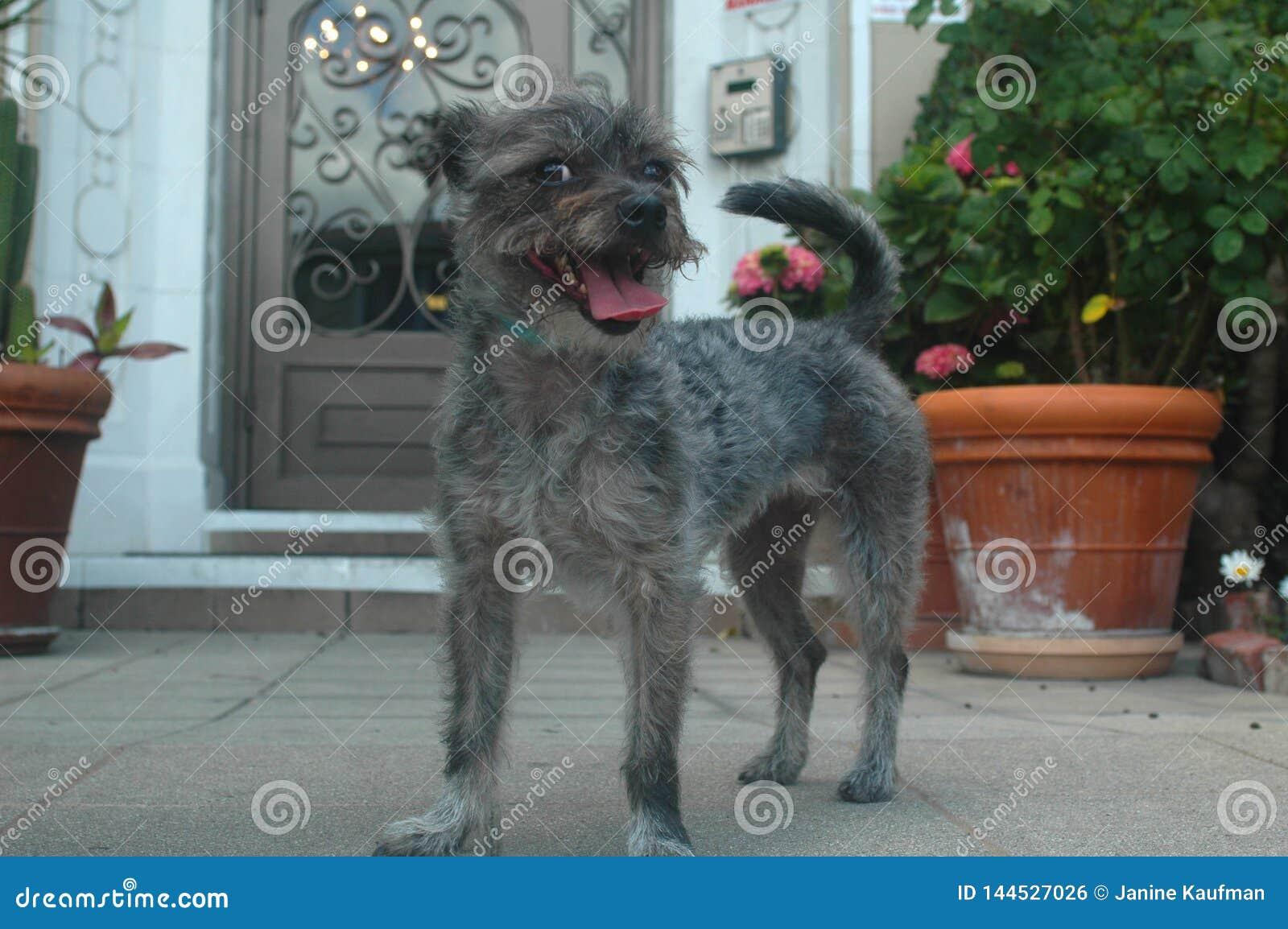 Uśmiechniętego szarość drutu Schnazer Terrier mieszanki trakenu Z włosami ciucia