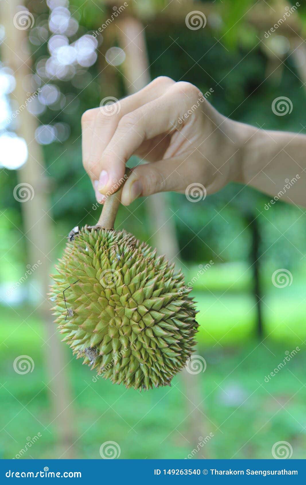 U?ywa praw? r?k? podnosi? ma?ego Montong durian spada daleko drzewo zanim ono mo?e u?ywa? jako jedzenie