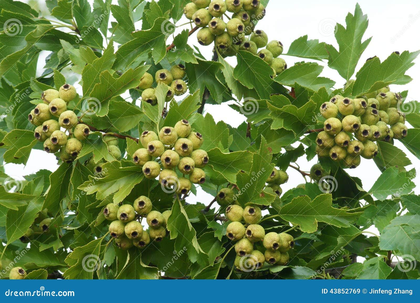 梦见一树绿果子