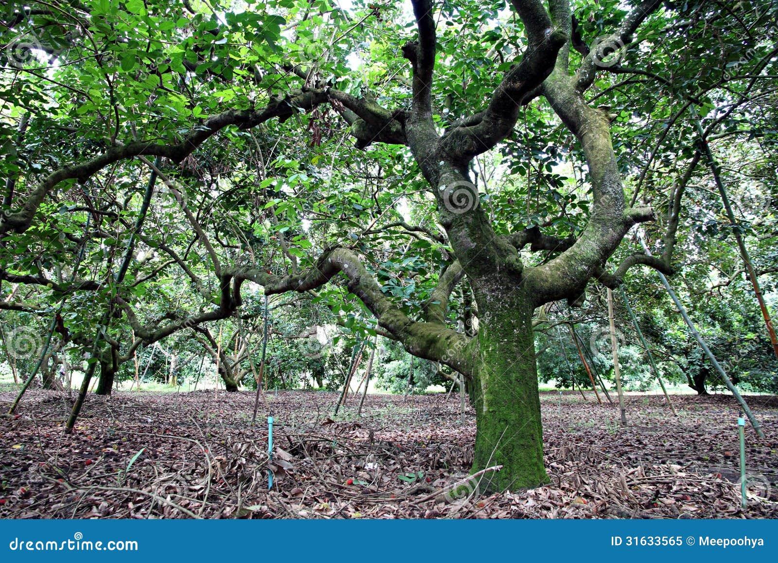 u7ea2 u6bdb u4e39 u6811 u3002  u514d u7248 u7a0e u5e93 u5b58 u7167 u7247  u56fe u7247 31633565 tree vector plan tree vector t shirt