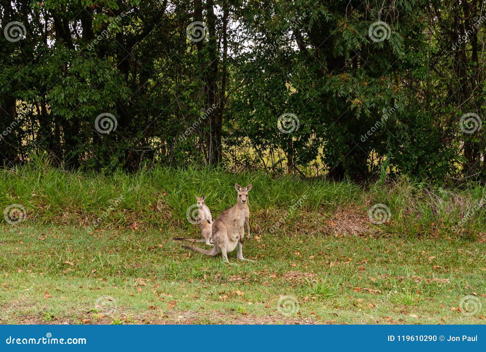 Ualabi y canguro en Bush Queensland
