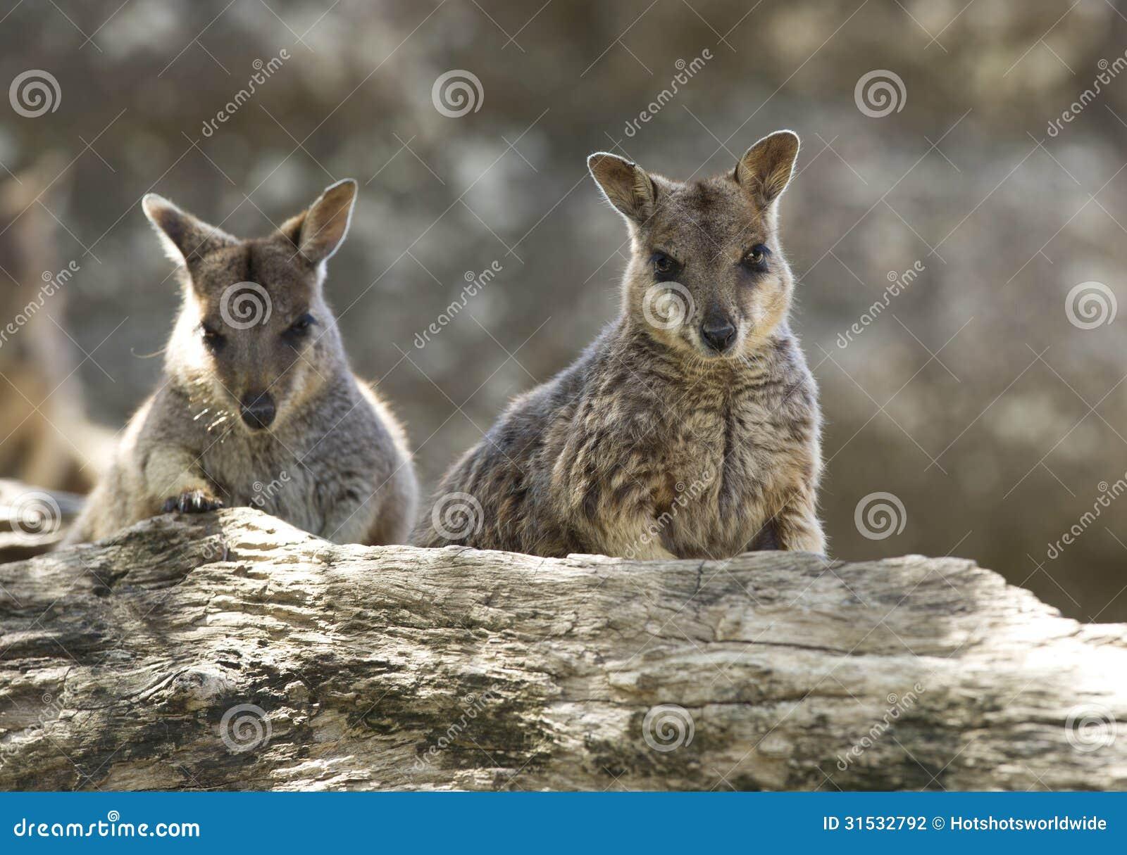 Ualabis de rocha selvagens do mareeba, rio de mitchell, montes de pedras, Queensland,