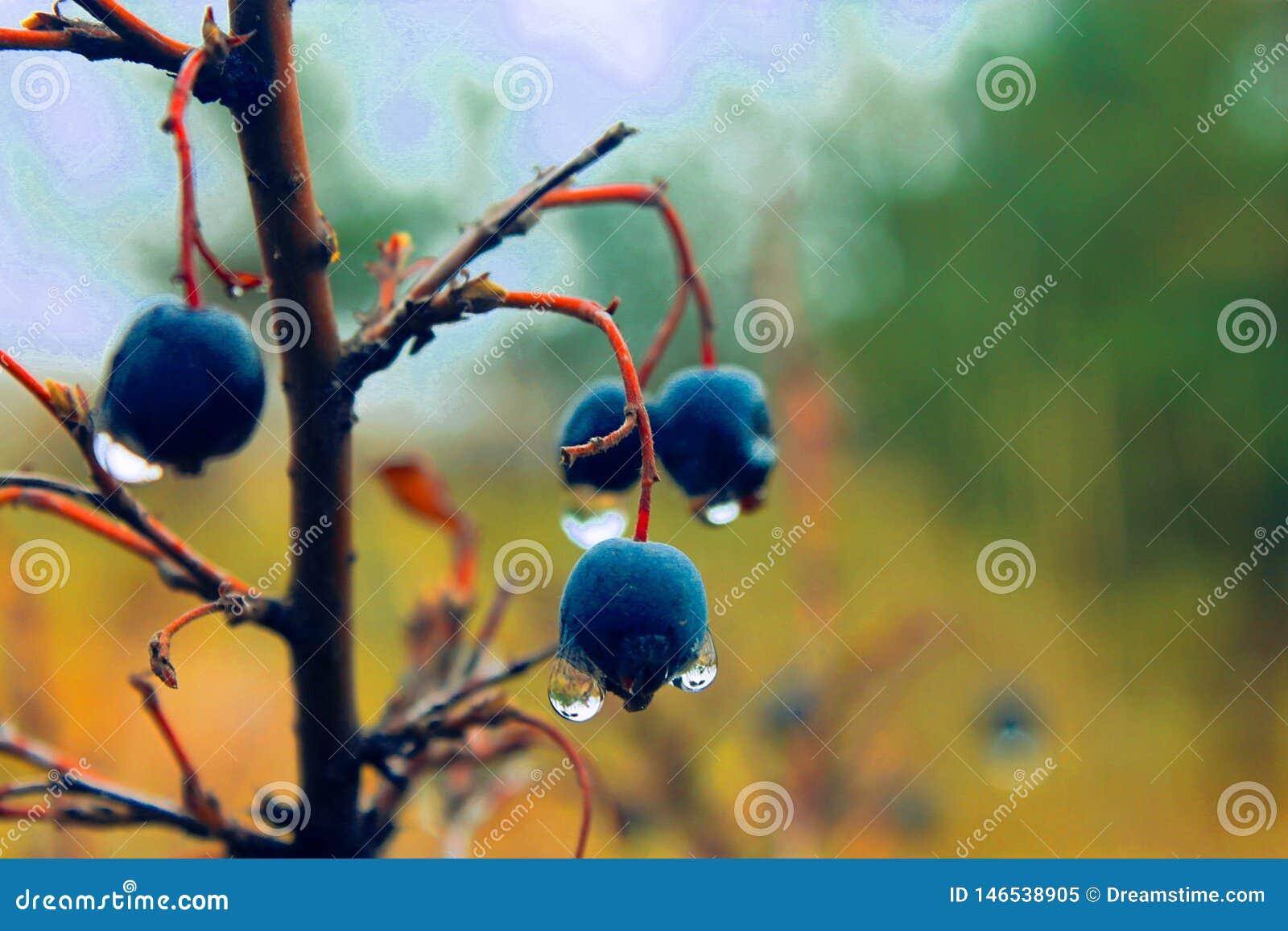 UAU! Bagas azuis tão agradáveis