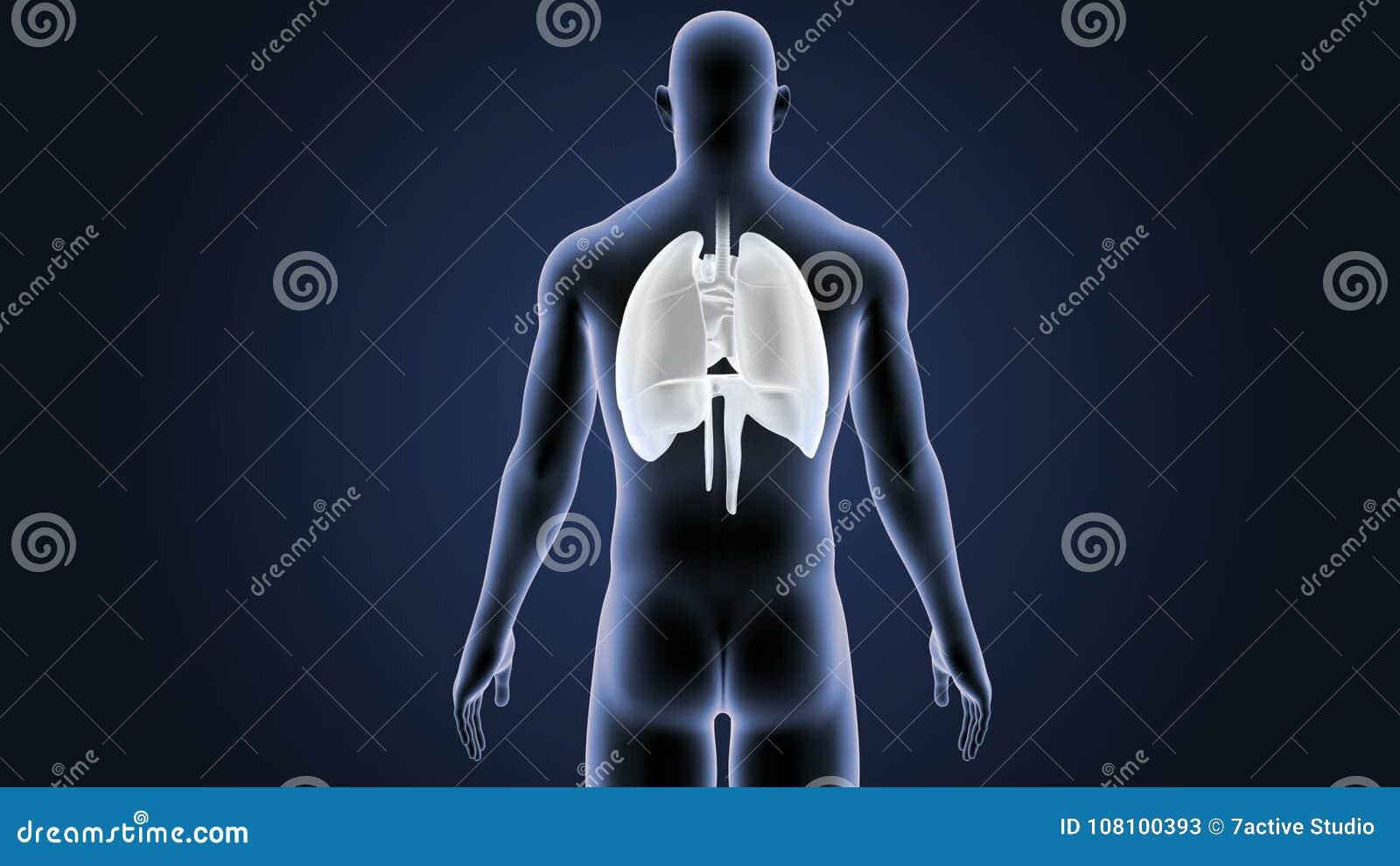 Ubicación Del Corazón, De Pulmones Y Del Diafragma En Cuerpo Humano ...