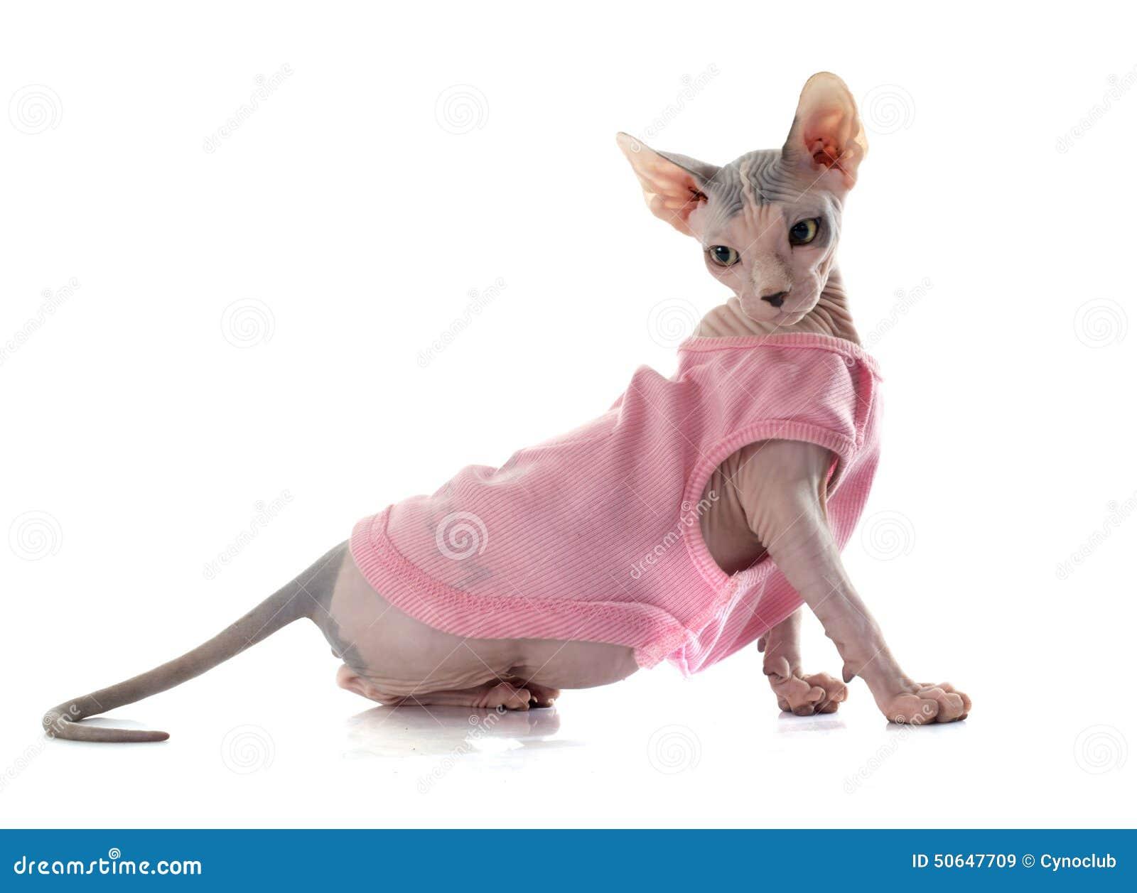 Ubierający Sphynx Bezwłosy kot