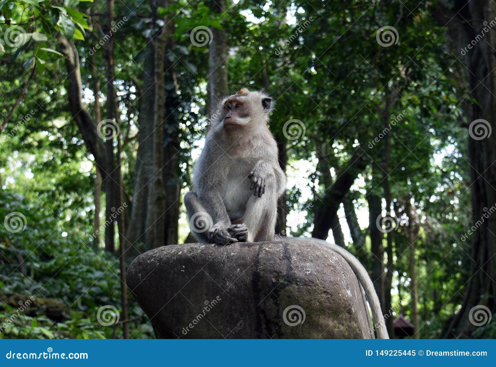 Ubud-Affe, der auf einem Stein sitzt
