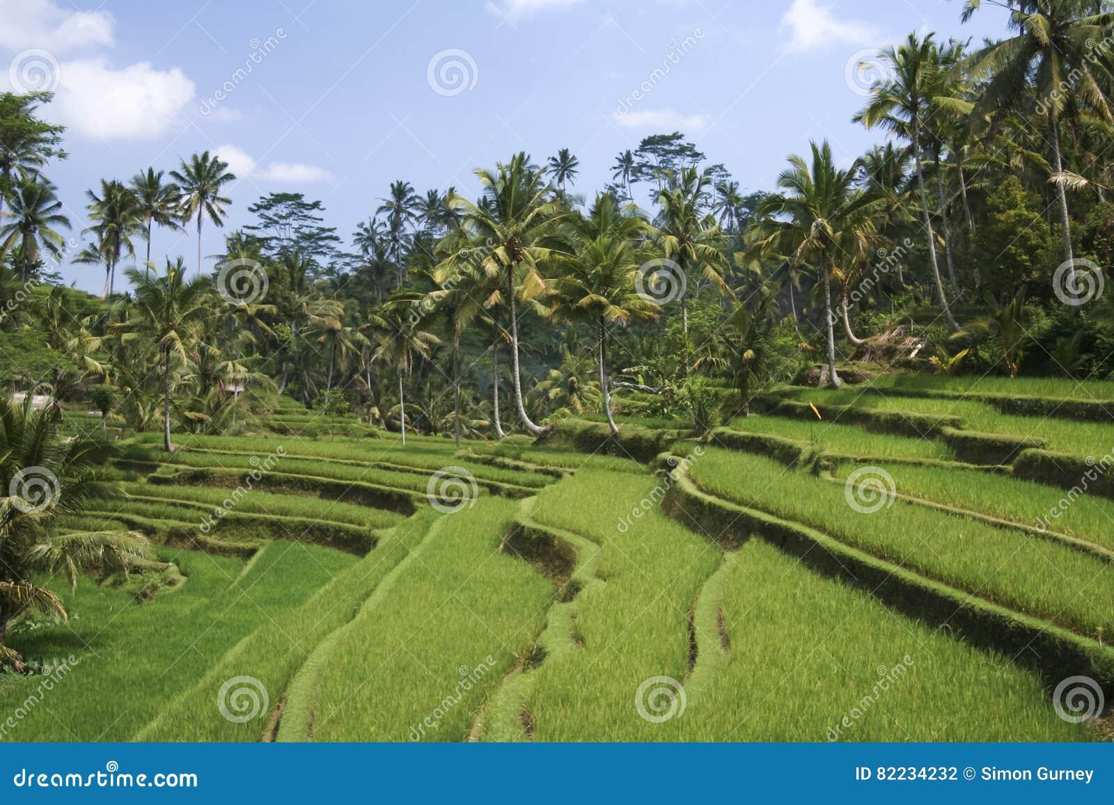 Ubud A Terrazze Verde Fertile Bali Delle Risaie Fotografia