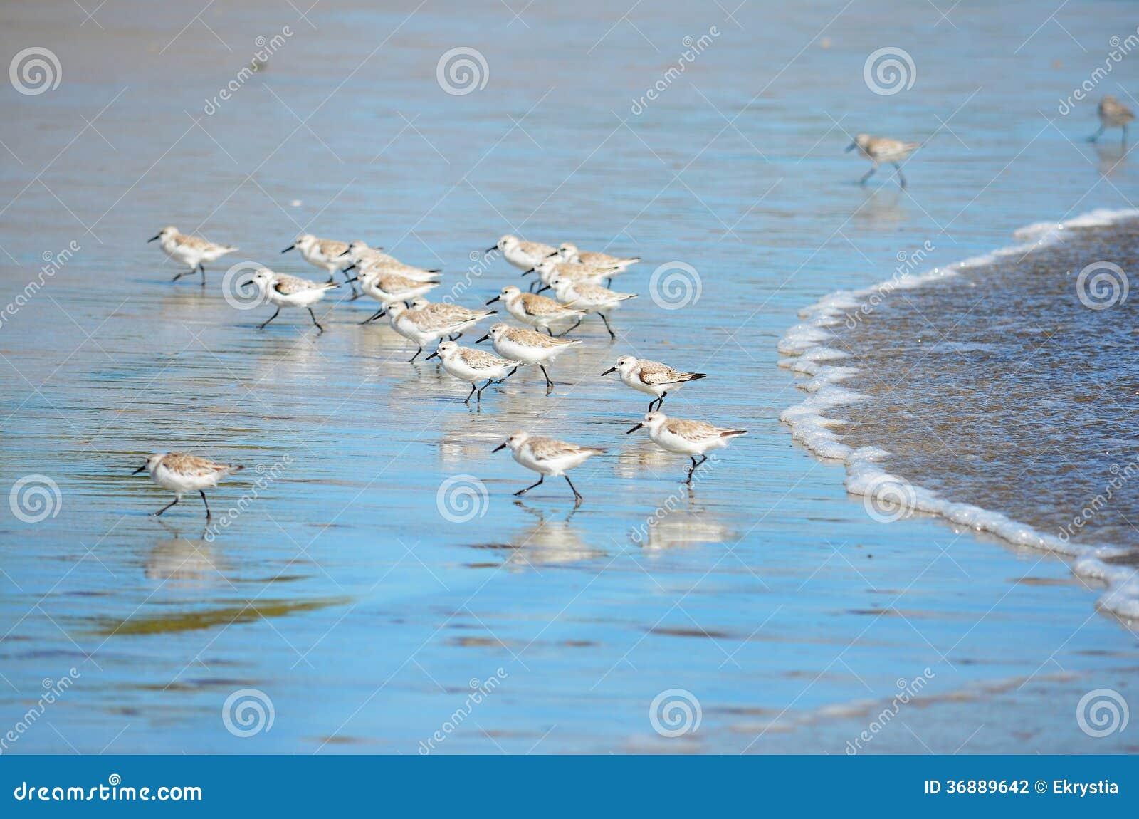 Download Uccelli Che Pescano Alla Spiaggia Di EL Espino Fotografia Stock - Immagine di particolare, bello: 36889642