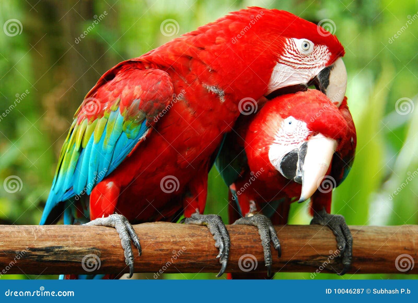 Uccelli del macaw di amore