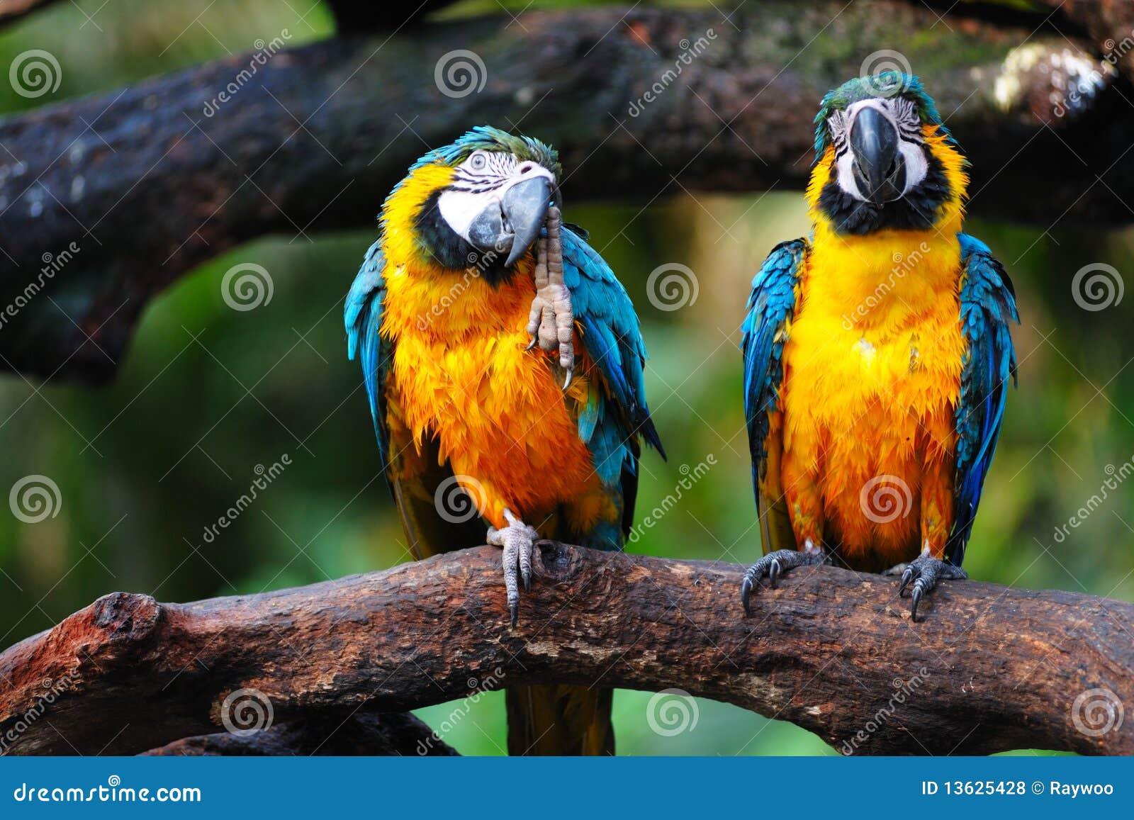 Uccelli del pappagallo
