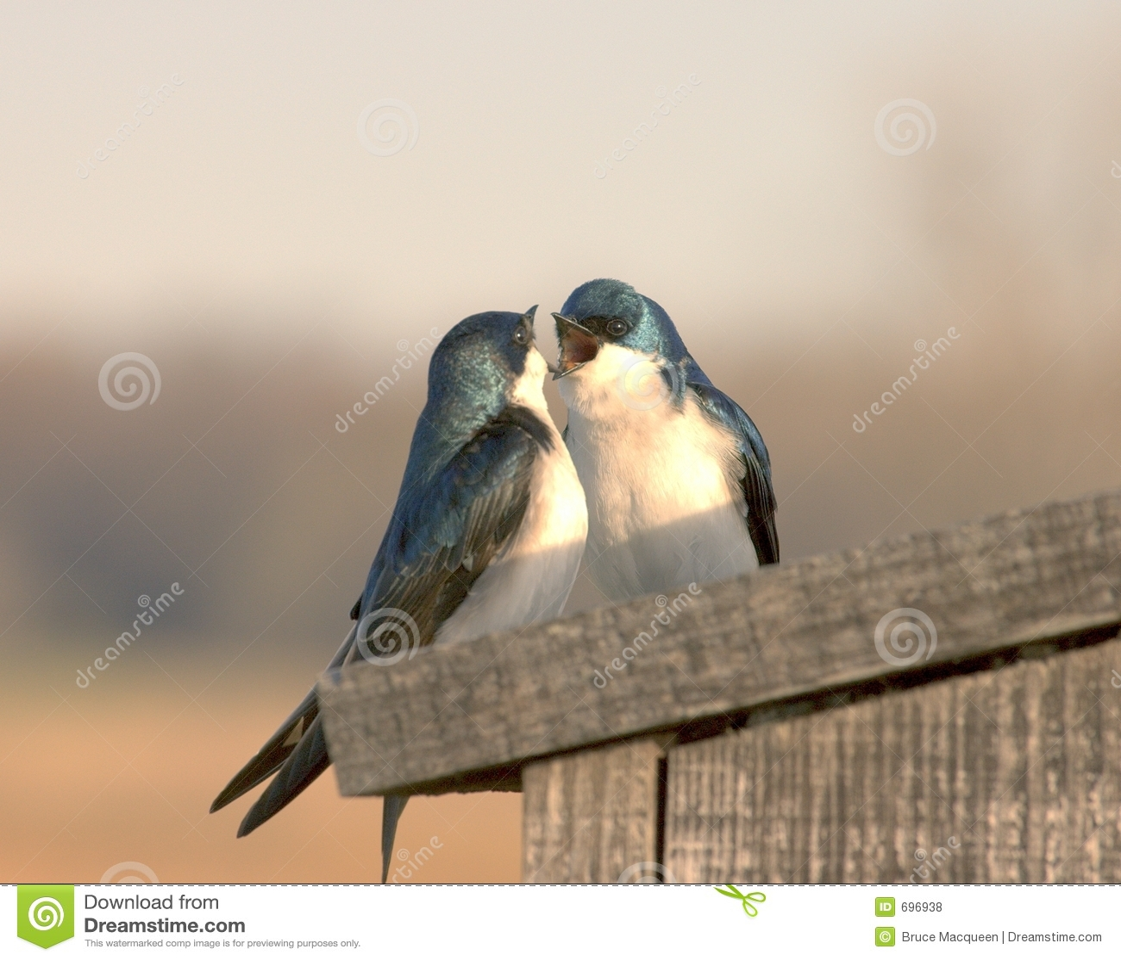 Uccelli di amore