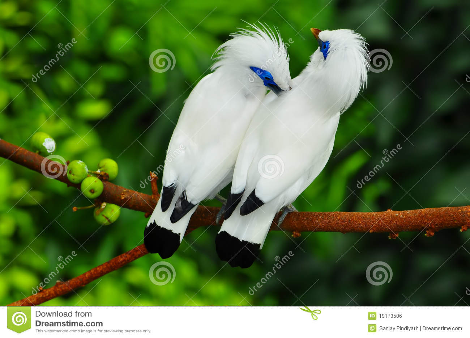 Uccelli di mynah del Bali