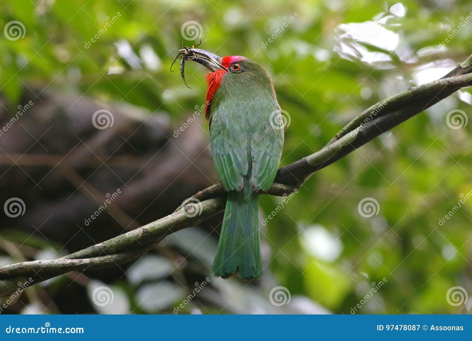 Uccelli Rosso-barbuti di amictus di Nyctyornis del Ape-mangiatore che mangiano insetto