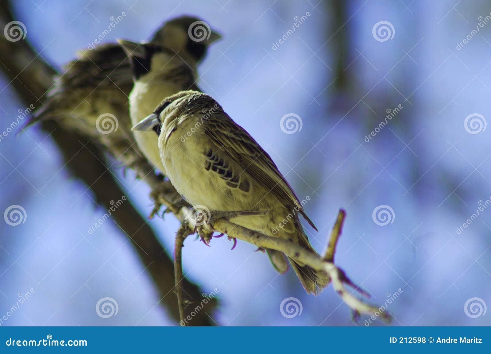 Uccelli sociali del tessitore