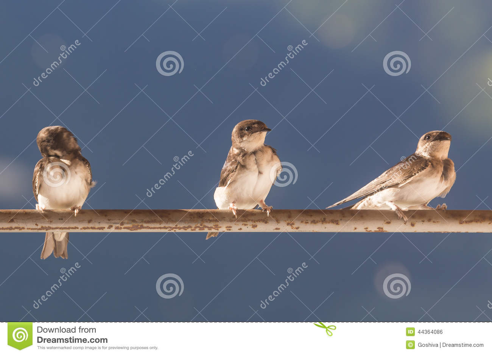 Uccelli (sorsi) su una barra trasversale