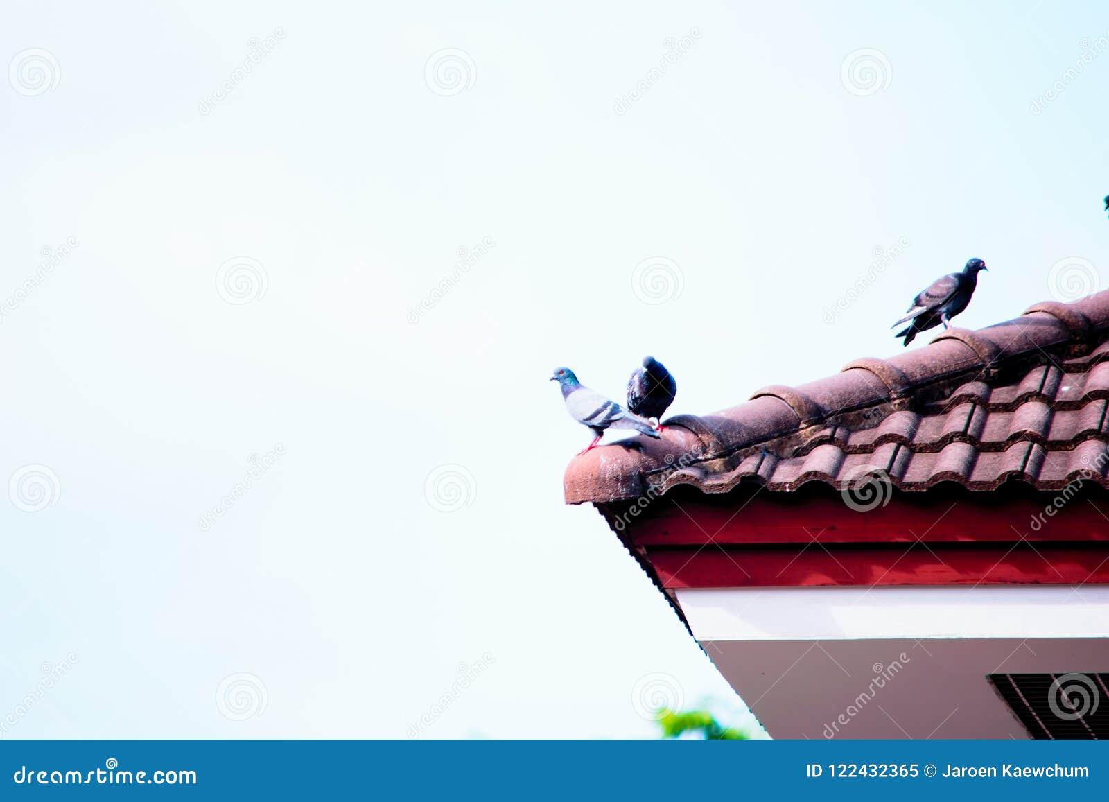 Uccelli sul tetto
