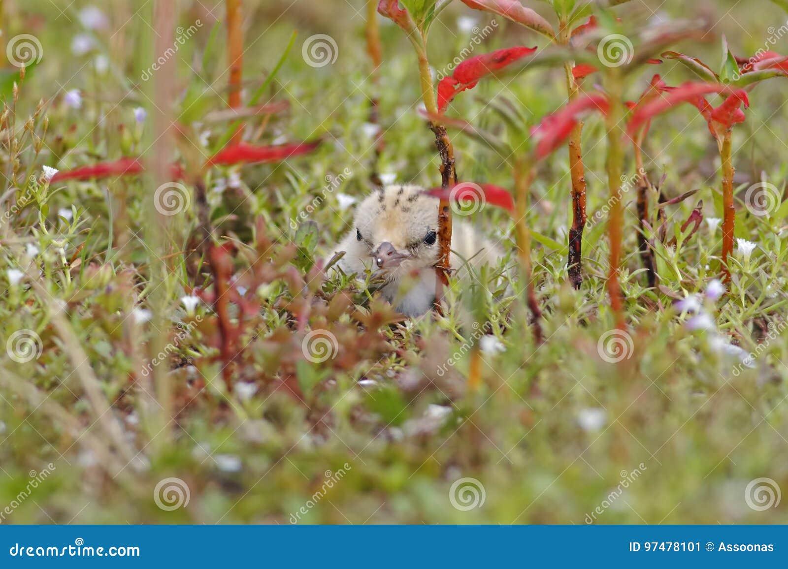 Uccelli svegli del piccolo della sterna di Sternula bambino dei albifrons