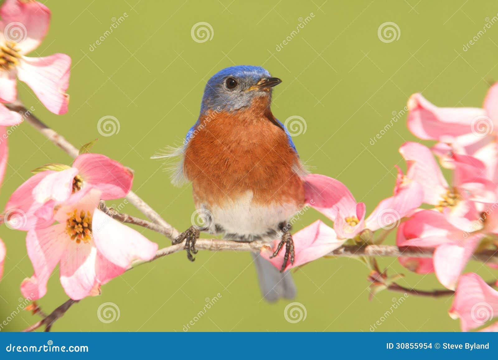 Uccellino azzurro con i fiori del corniolo fotografia - Immagini del cardellino orientale ...