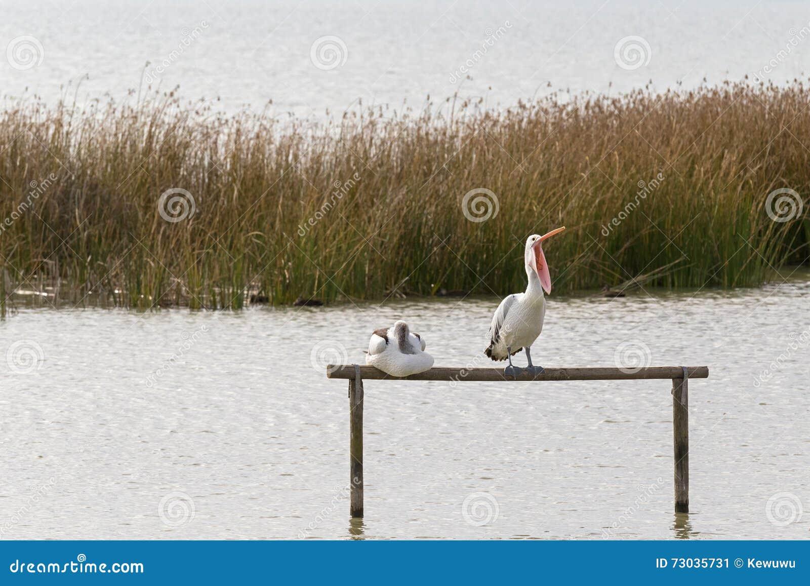 Uccello acquatico australiano del pellicano che si appollaia sui wi di sbadiglio del palo di legno