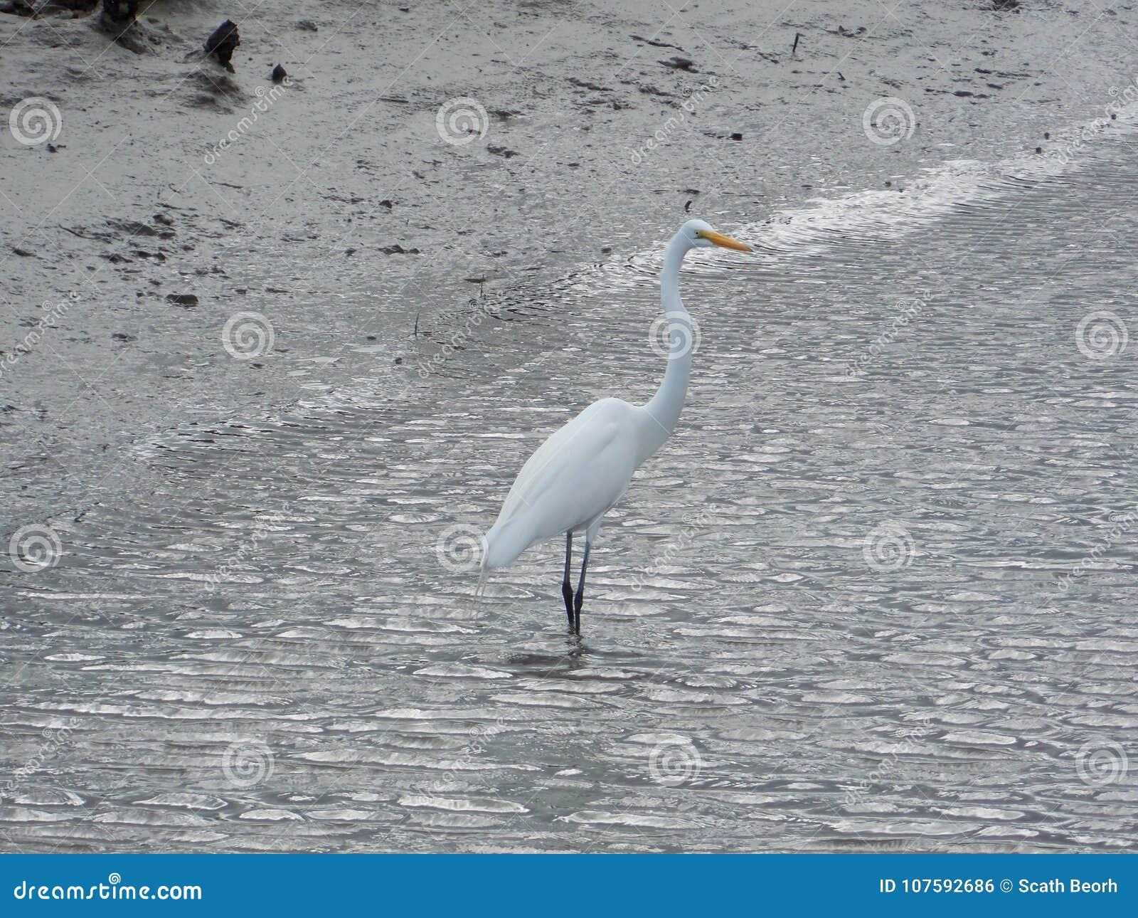 Uccello acquatico bianco splendido che si alimenta pesce