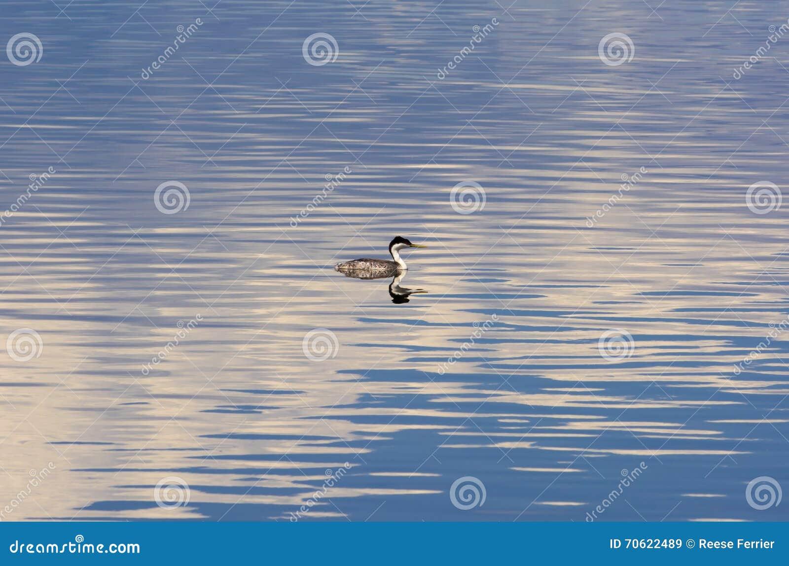 Uccello acquatico di galleggiamento