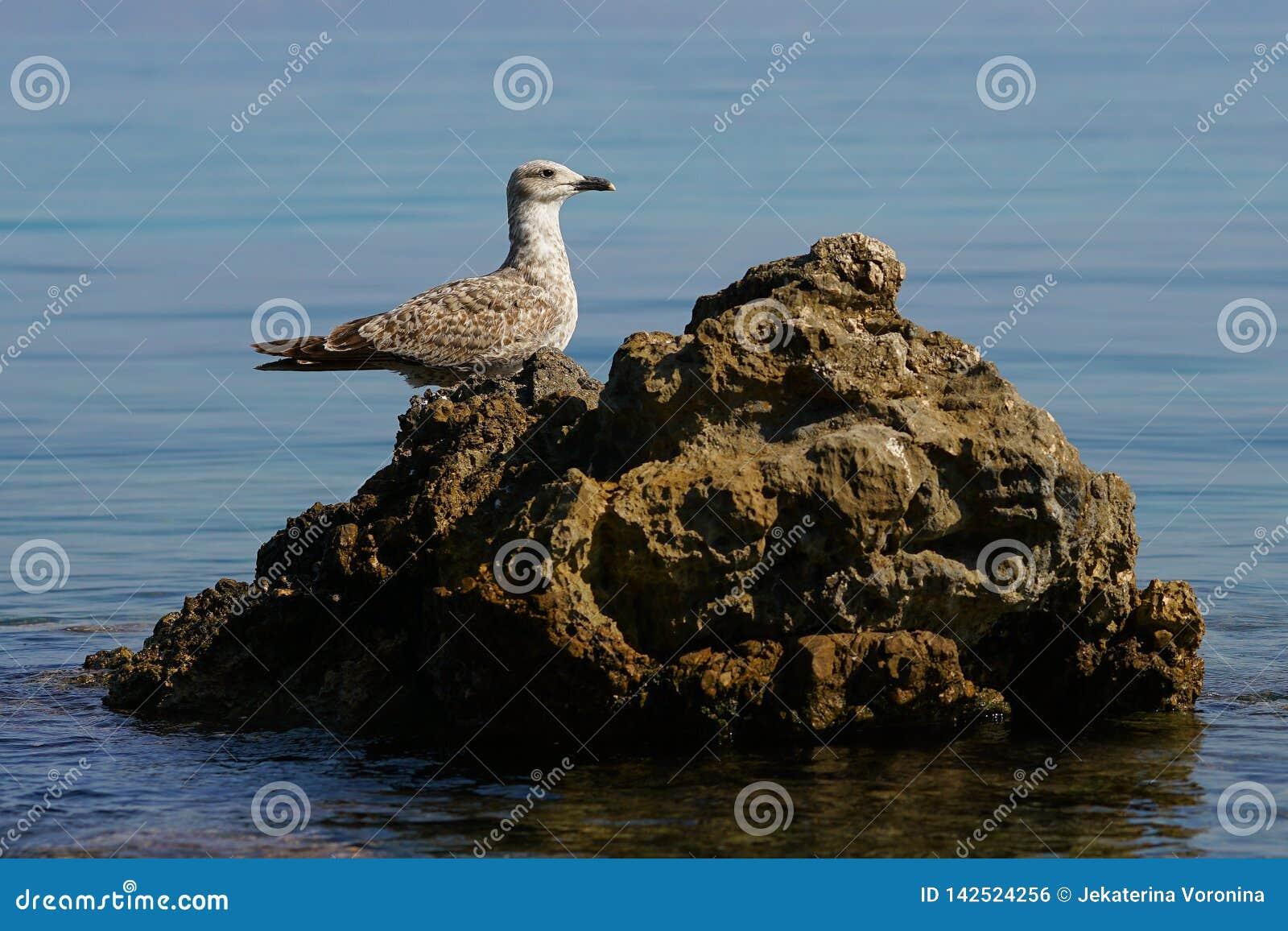 Uccello acquatico speciale nel mare di Corfù, Grecia