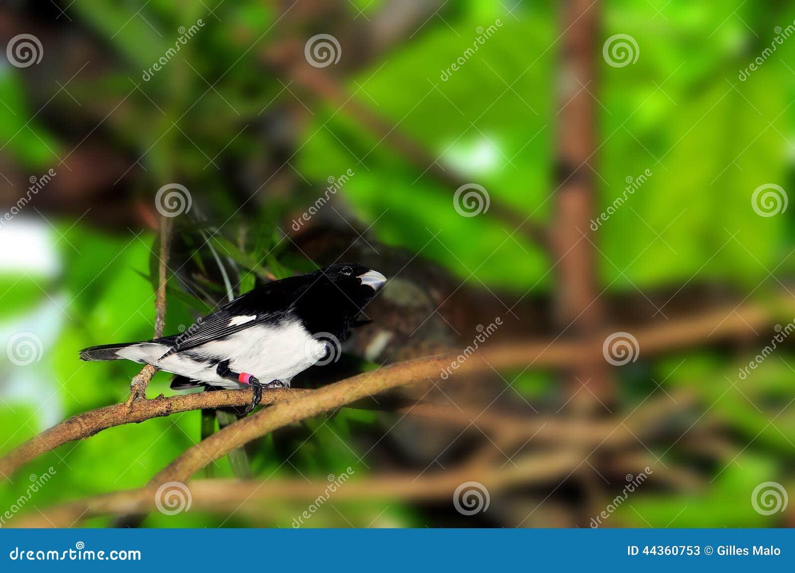 Uccello in bianco e nero del fringillide