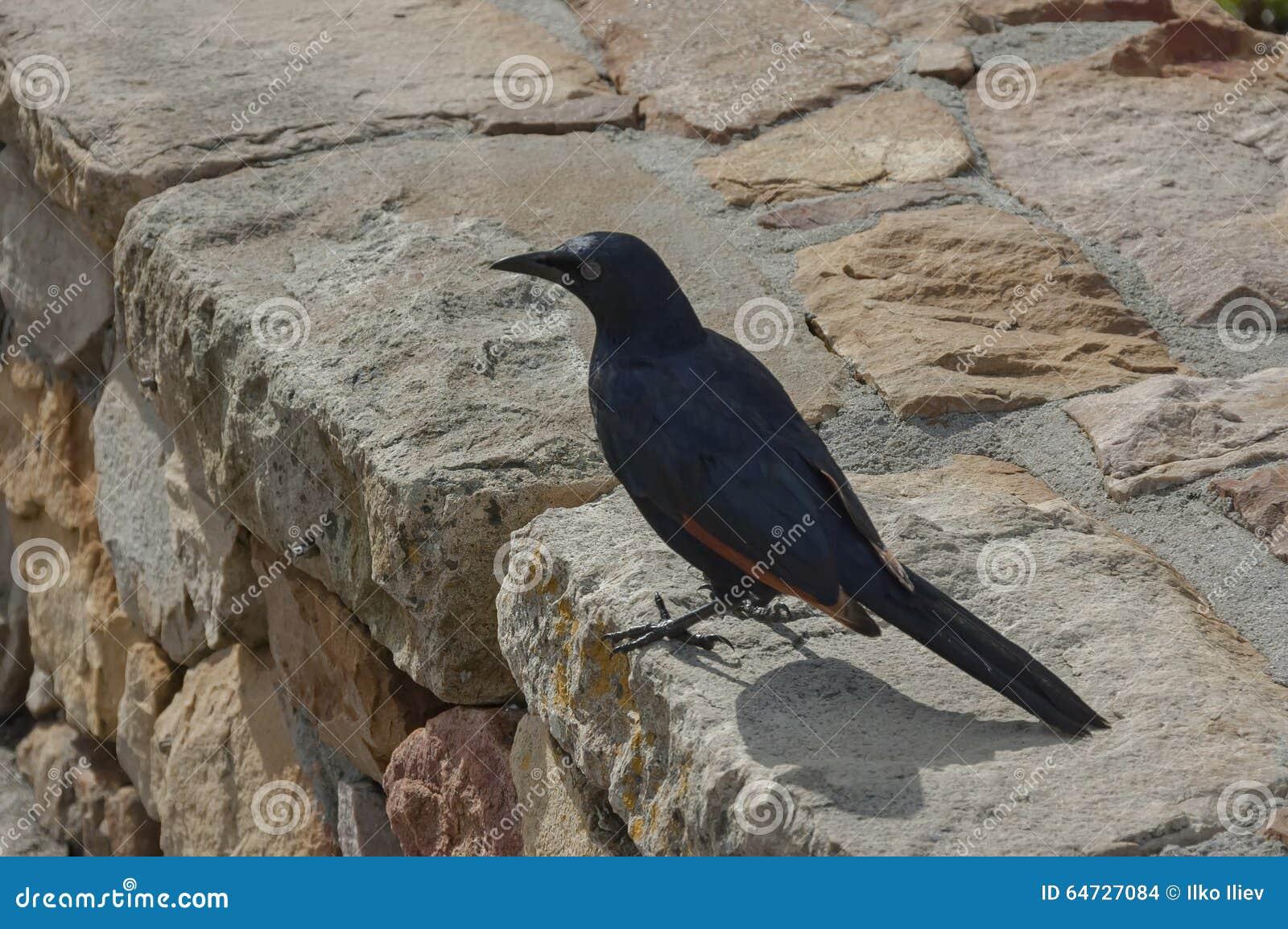 Uccello blu scuro alla parete di pietra dal Capo di Buona Speranza