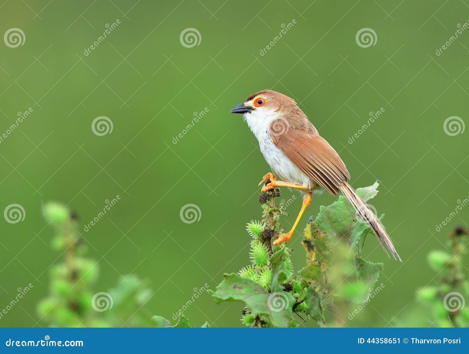 Uccello (chiacchierone dall occhio giallo), Tailandia