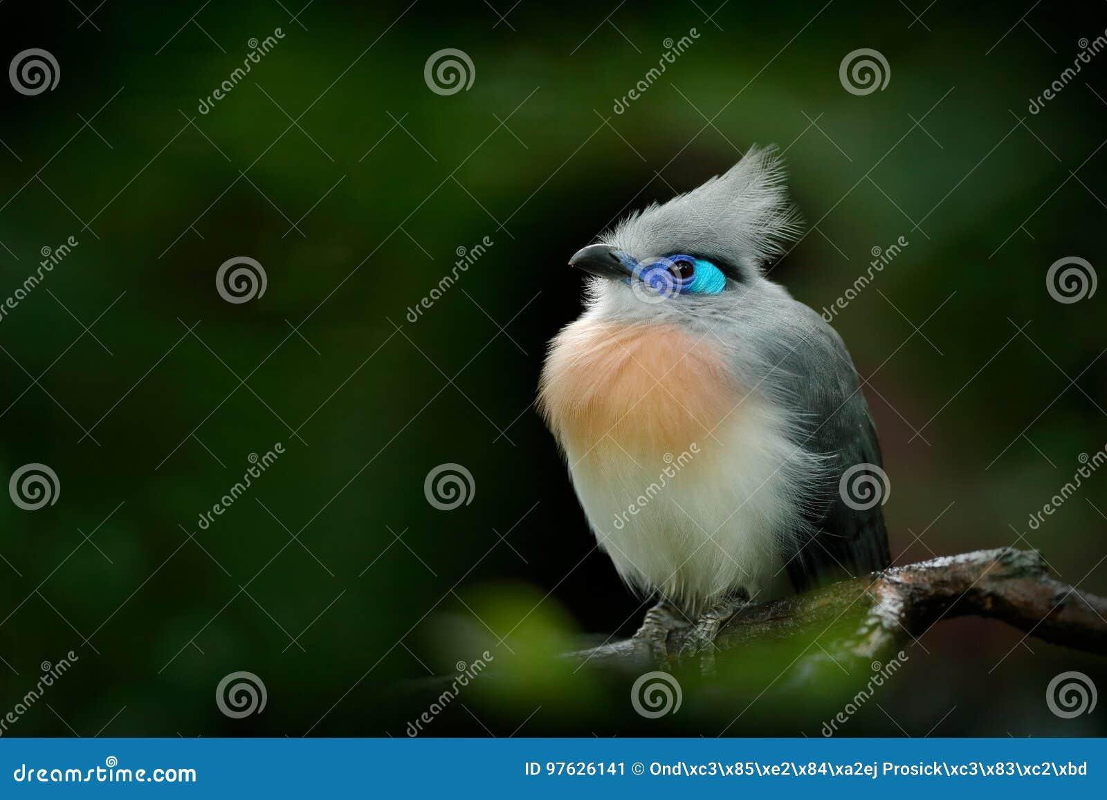 Uccello dal Madagascar Cristata crestato di Coua, di Couna, uccello grigio e blu raro con la cresta, nell habitat della natura Co