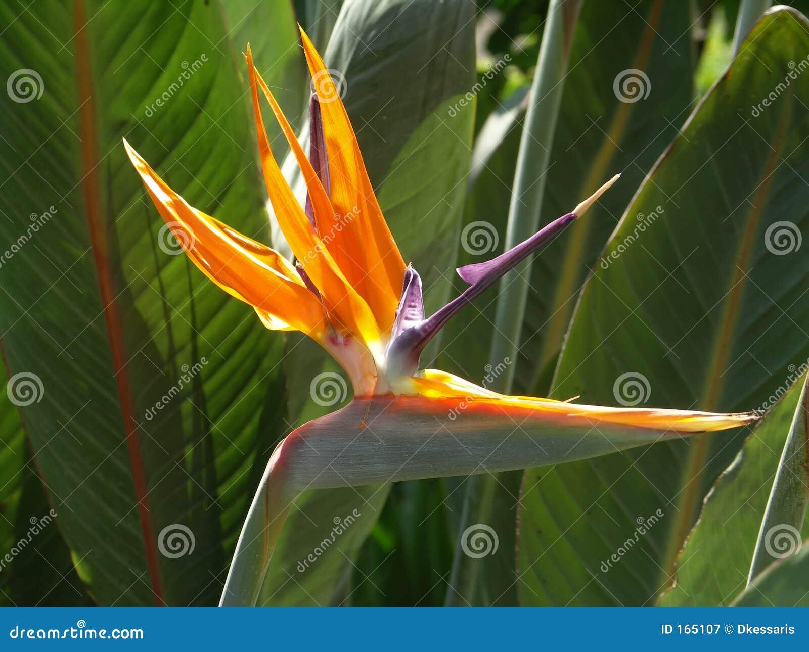 Uccello del fiore di paradiso
