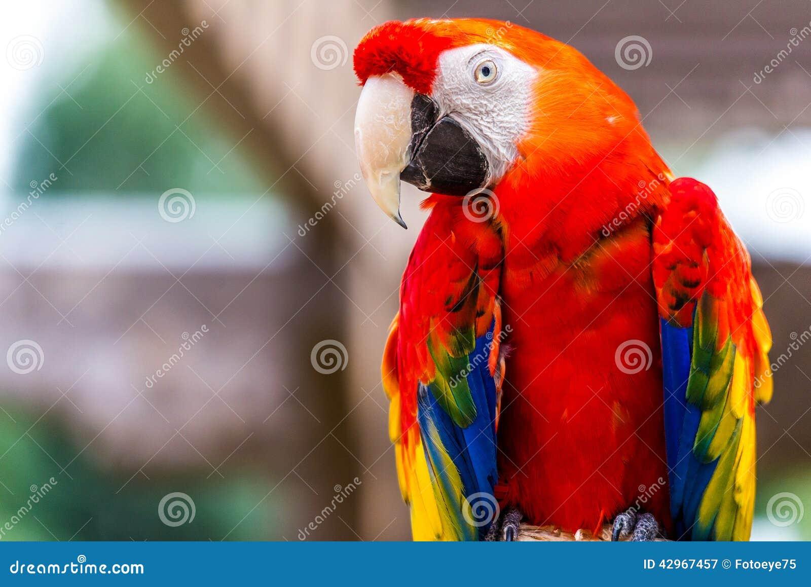 Uccello del pappagallo dell ara macao