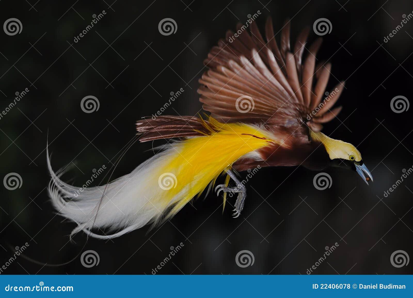 Uccello del paradiso durante il volo