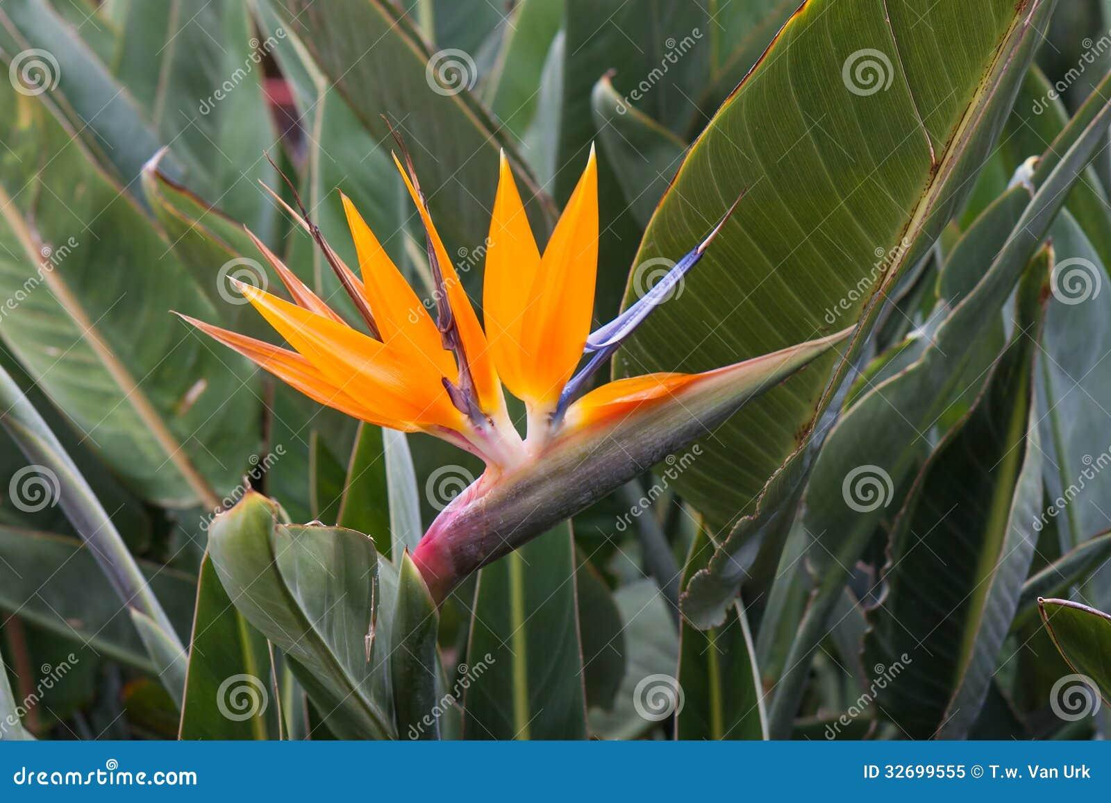 Uccello Del Paradiso, Fiore Tropicale Esotico Di Strelitzia