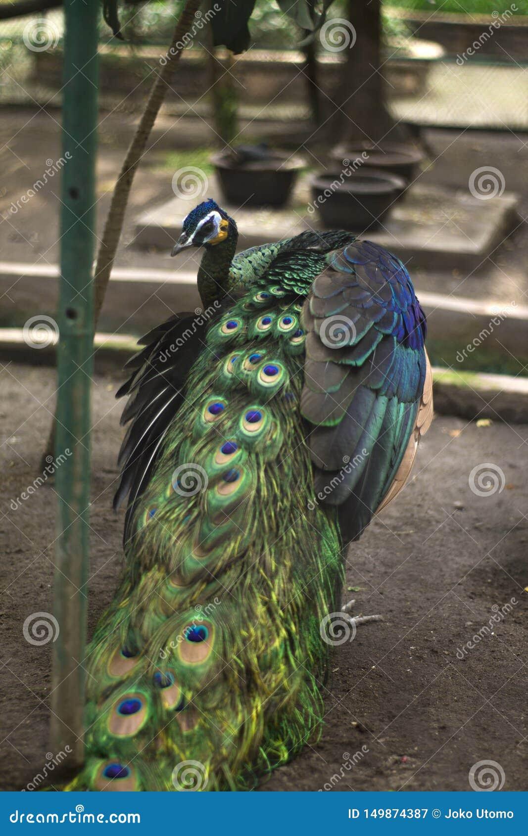Uccello del pavone