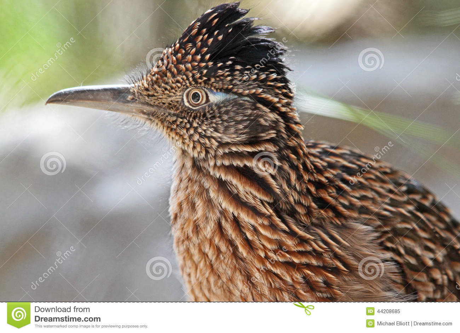 Uccello del Roadrunner