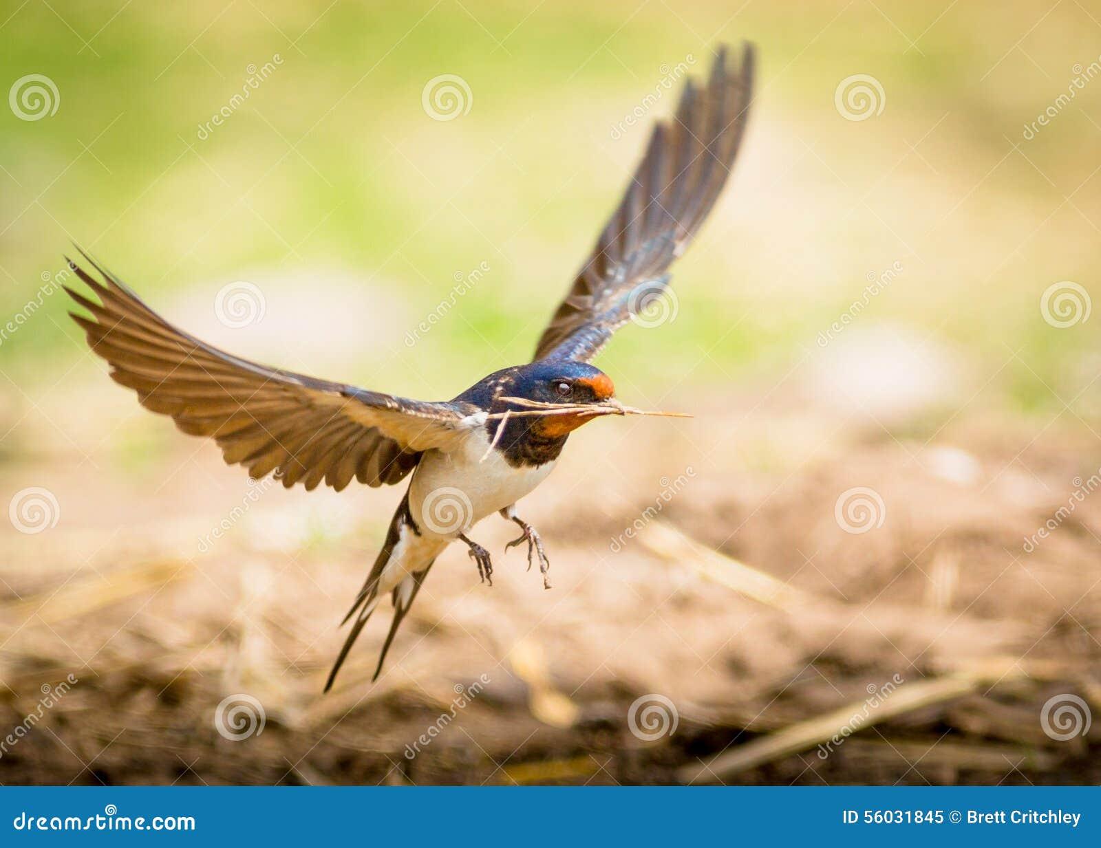 Uccello del sorso di granaio