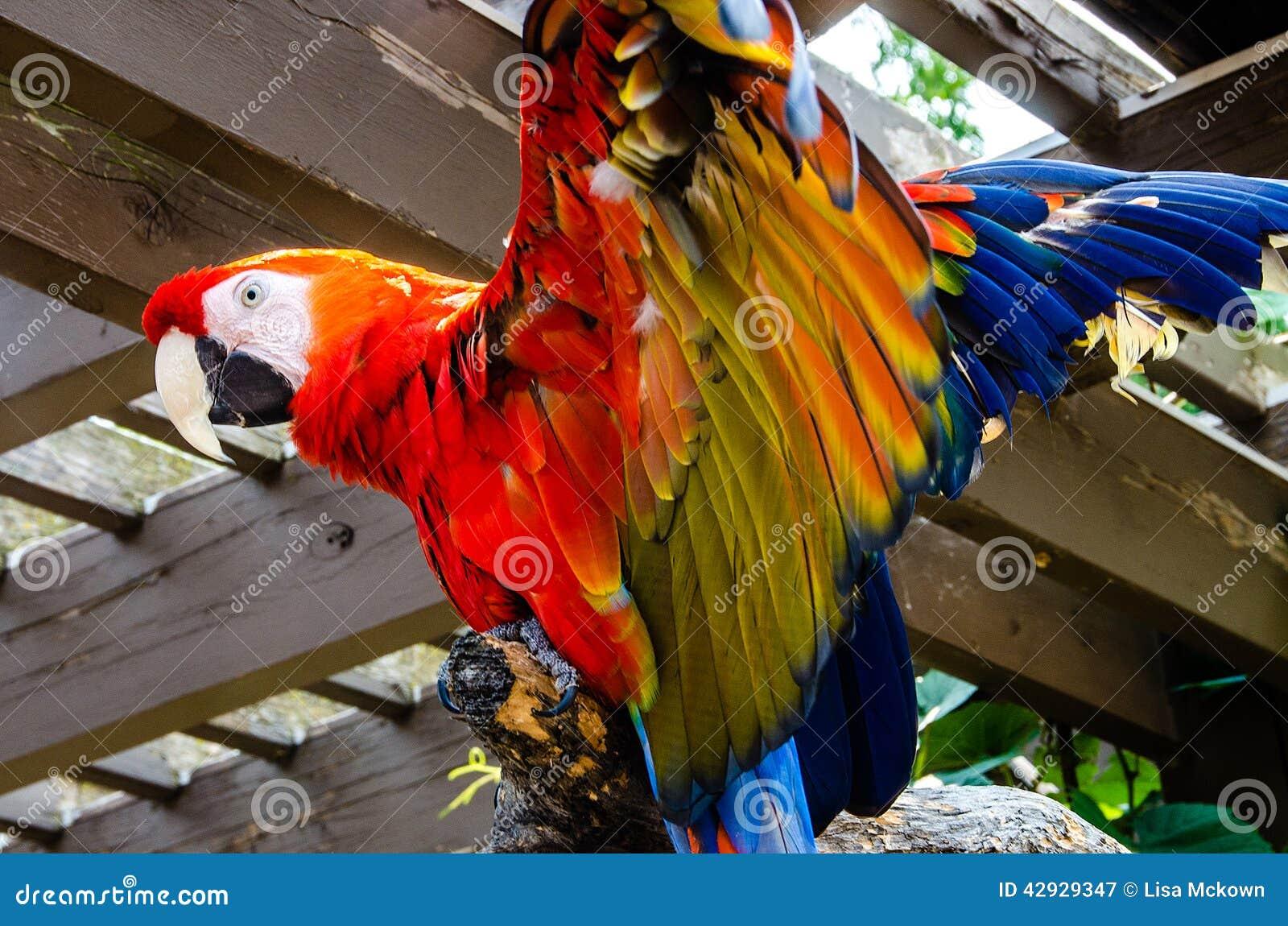 Uccello dell ara macao