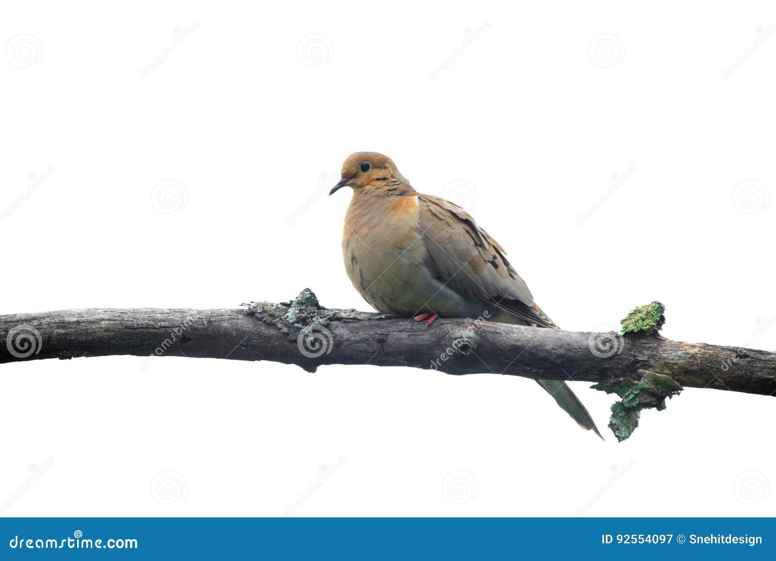 Uccello della colomba sul ramo di albero