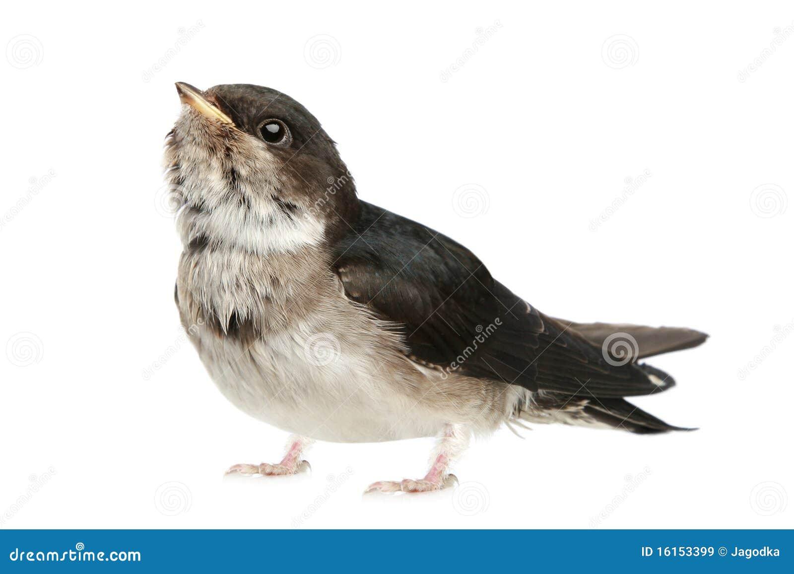 Uccello di bambino di uno swallow