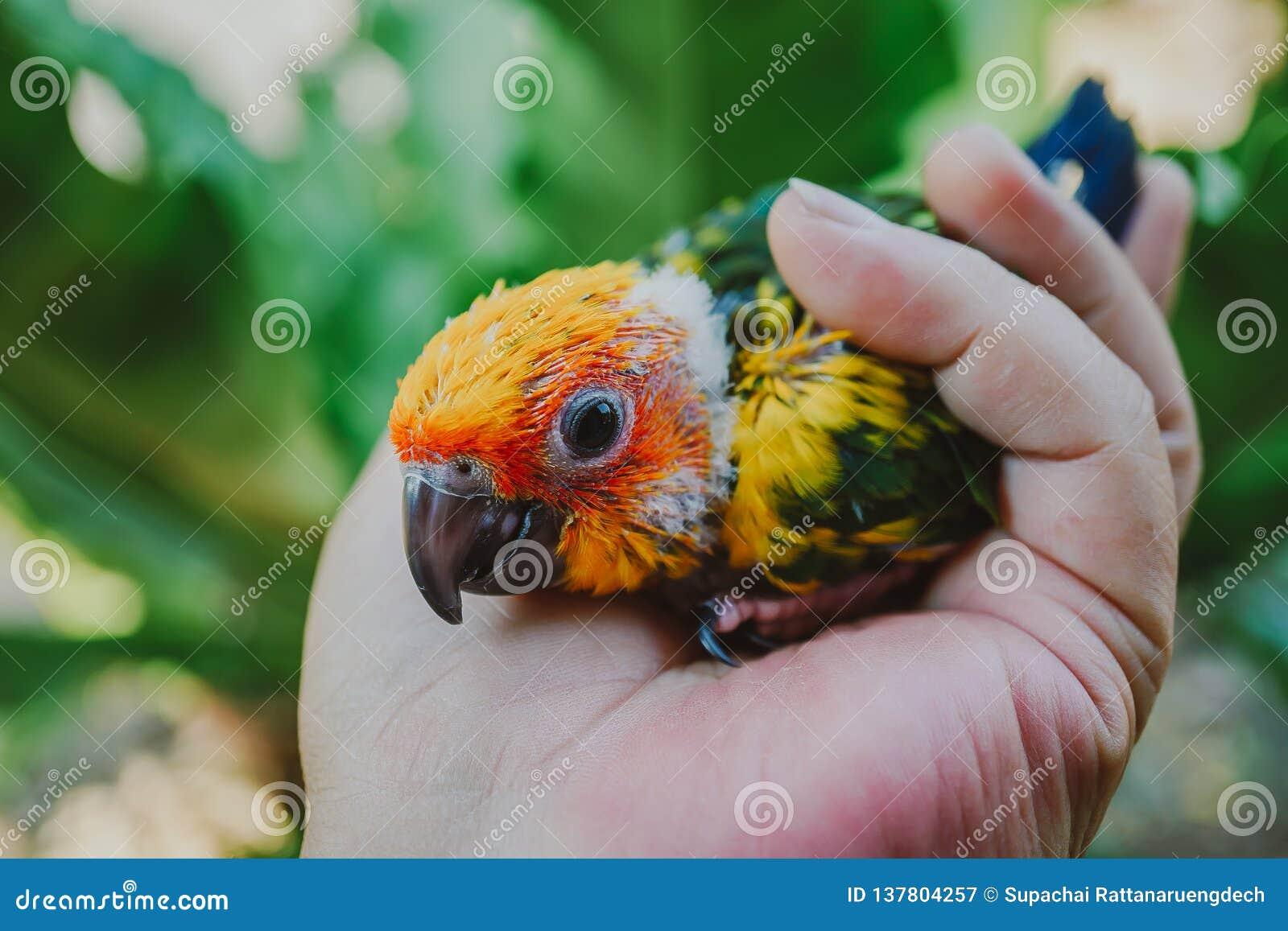 Uccello di conuro di Sun del primo piano
