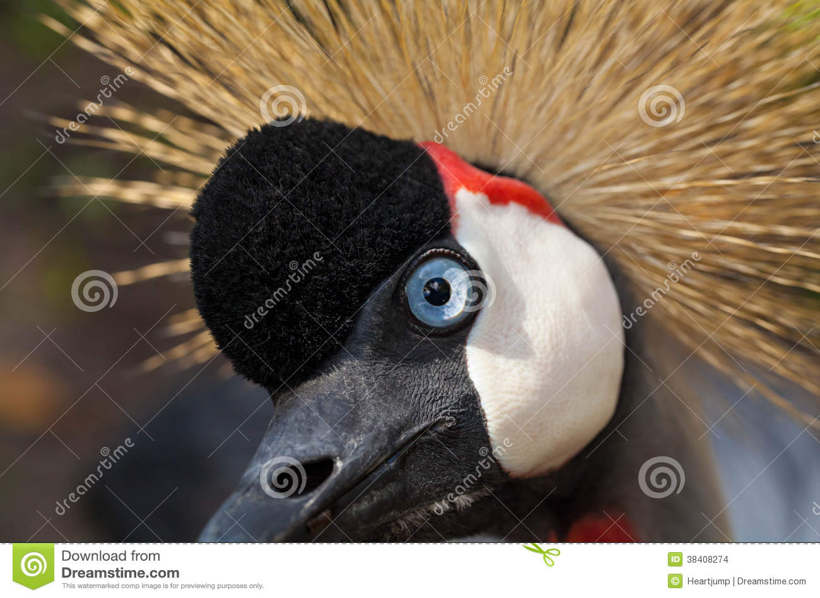 Uccello di Grey Crowned Crane