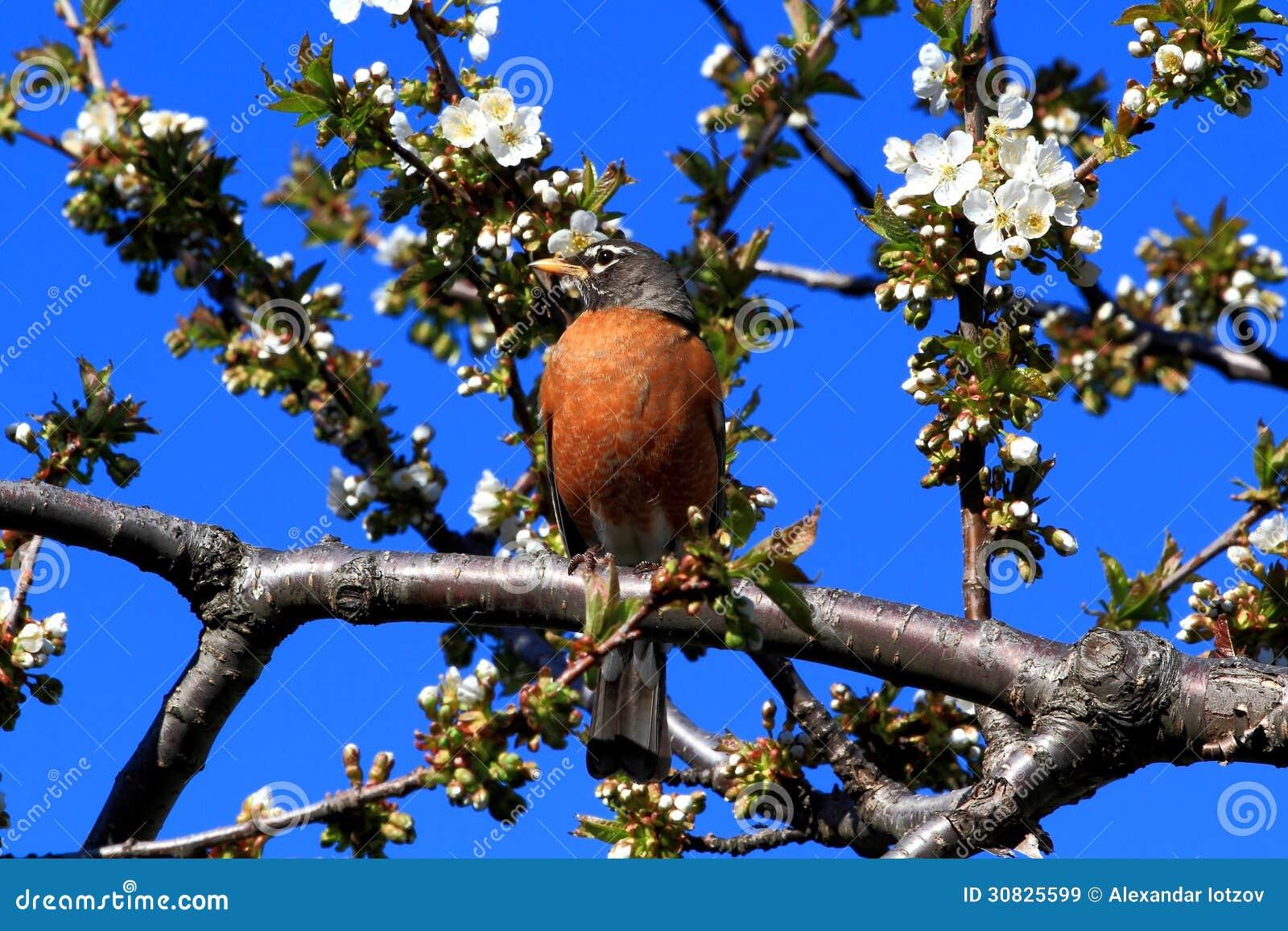 Uccello di Robin e Cherry Tree di fioritura.