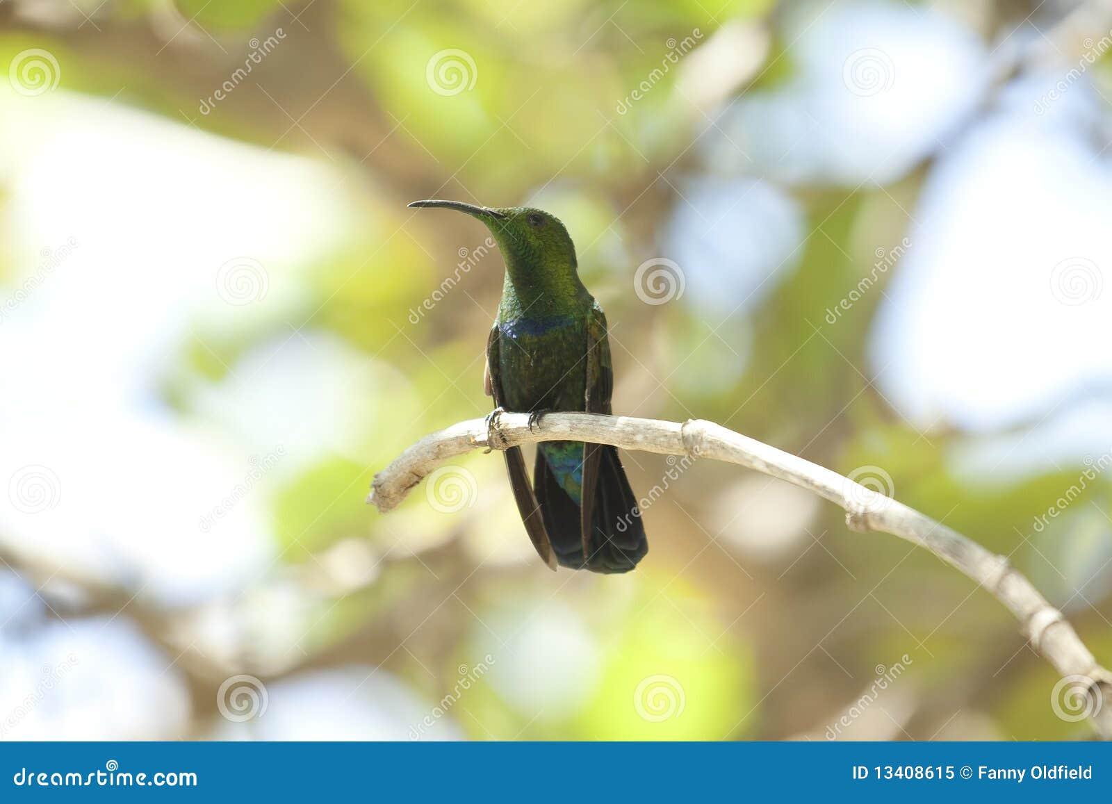 Uccello di ronzio in albero