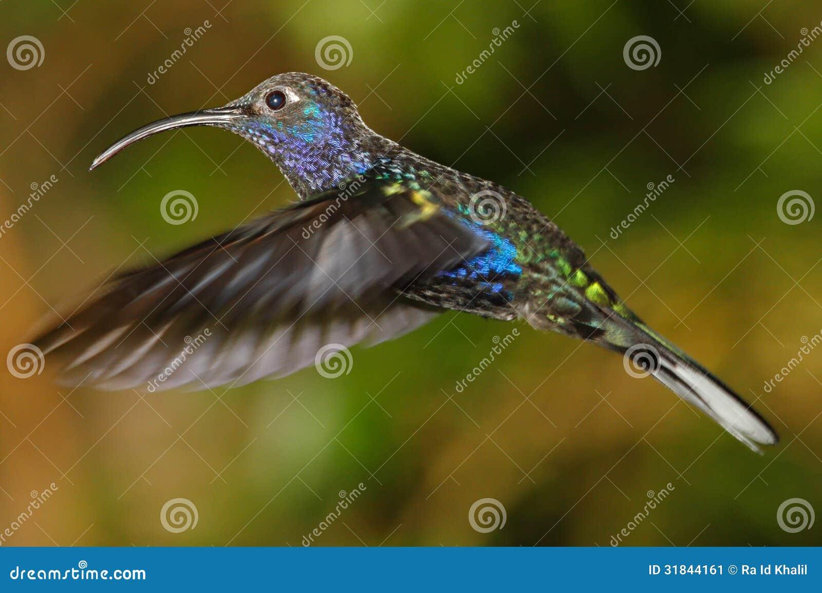 Uccello di Violet Sabrewing Humming