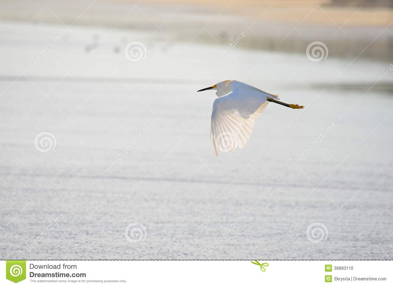 Download Uccello Di Volo, Spiaggia Di EL Espino Fotografia Stock - Immagine di background, colorful: 36893110