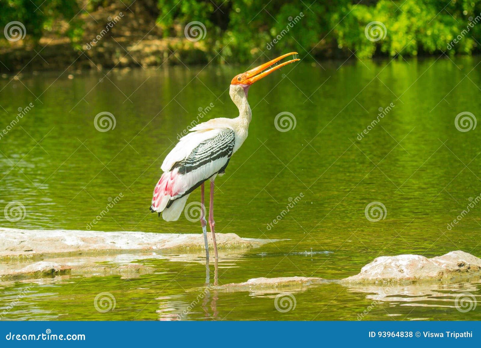 Uccello dipinto della cicogna al santuario di uccelli