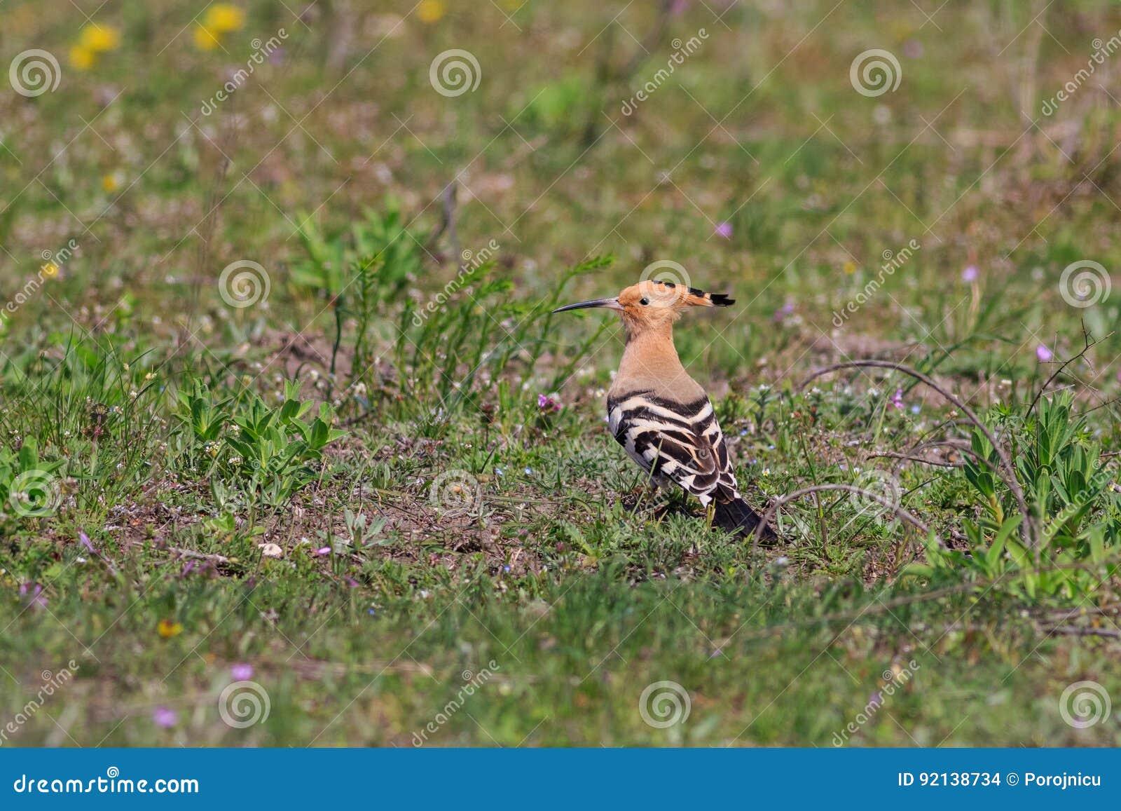 Uccello euroasiatico dell upupa