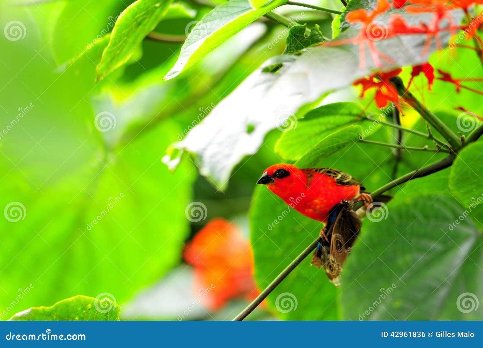 Uccello, fody rosso del Madagascar